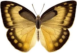 vintage gold black butterfly illustration the graphics
