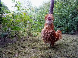 the holistic hen how to raise quail chickens and pigeons