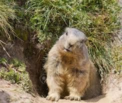 groundhog sitting in front of it u0027s den in summer in valais