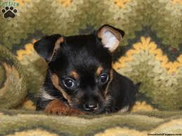 short haired chorkie chorkie puppies chorkie puppies for sale in pa my little