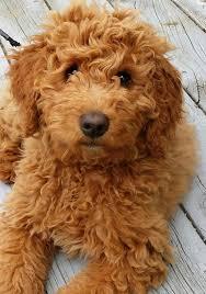 doodle doo labradoodles best 25 goldendoodles ideas on goldendoodle puppy