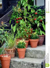 container garden vegetables plants in pot stock photo image