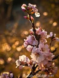 ornamental almond pruning learn when and how to prune a