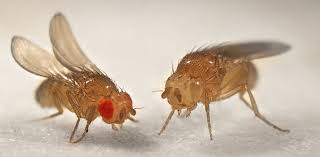 animals in research drosophila the fruit fly