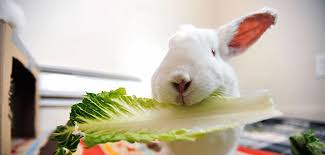 rabbit food what can bunnies eat best friends animal society