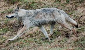 yukon wolf wikipedia
