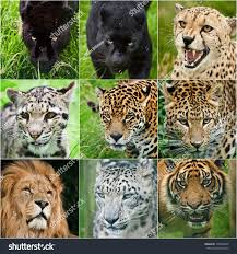 all black jaguar collection portraits all big cats black stock photo 109348949