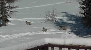 backyard bobcat doesn u0027t notice company jukin media