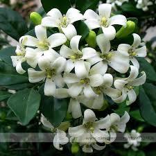 Fragrant Jasmine Plant - aliexpress com buy heirloom 100 true orange jasmine shrub with