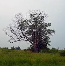 the s tree