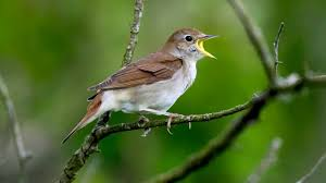 Canopy Birds by Nightingale Sings Bird Song Youtube