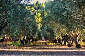 12 royalty free olive groves images peakpx