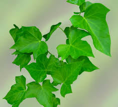 free images nature branch leaf flower green produce ivy