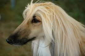 afghan hound arizona afghan hound history and health