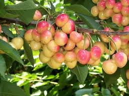 fruit trees forest products