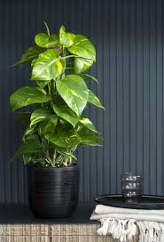 indoor trees that don t need light 15 plants that grow without sunlight sunlight plants and gardens
