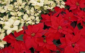 poinsettia ornamental shrub for indoor and outdoor gardens