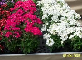 verbena flower ky garden flowers verbena to zinnia