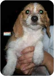 bichon frise in ohio babs adopted puppy wauseon oh bichon frise beagle mix