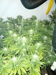 week 3 5 a 4 week 4 flowering smells really like kush purple