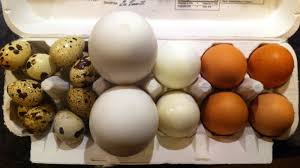 hunting for the tastiest egg duck goose chicken or quail the