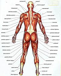 Anatomy And Physiology Of The Back Human Anatomy Female Lower Back Lower Back Bone Anatomy Human