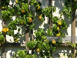 pears growing on a trellis closeup stock photo getty images