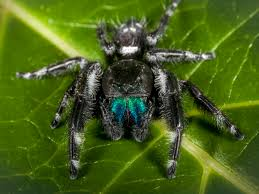 jumping spiders pest profile pictures u0026 information