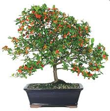 outdoor bonsai tree for beginners specimen bonsai bonsai outlet