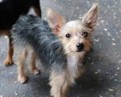 australian shepherd yorkshire terrier mix view ad rat terrier mix dog for adoption arkansas eureka