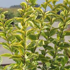 fast growing evergreen shrubs at thompson morgan