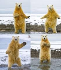 Dancing Bear Meme - 104 best polar bear girl by design aka pbggirlbydezine images on