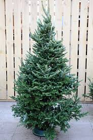 Natural Christmas Tree For Sale - christmas trees rhs gardening