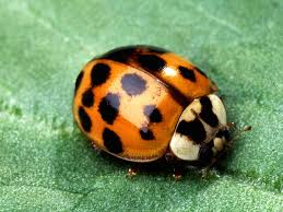 the 4 stages of the ladybug life cycle