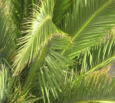 palm tree leaves free download clip art free clip art on