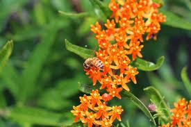 oklahoma native plants save the monarch the oklahoma way station kerr center
