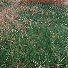the gardener blue grama ornamental grass