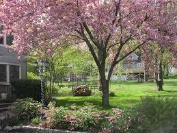 flowering cherry tree kwanzan search gardening