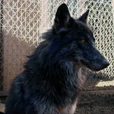 belgian shepherd wolf mix happy wolf