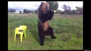 Dancing Bear Meme - dancing bear gif 11 gif images download