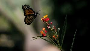 monarch butterfly flies from plant in motion stock