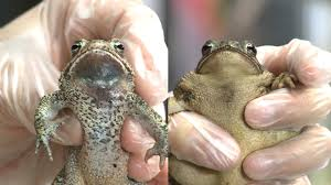know your toads houston toad vs gulf coast toad youtube