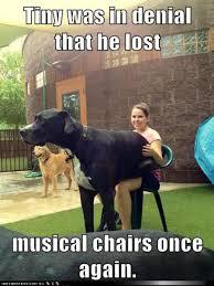 Great Dane Meme - funny great dane pictures greatdane great dane pinterest