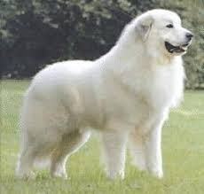 big white dog breeds with pictures u0026 breed profiles
