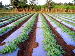 impressive weed control in vegetable garden natural weed control