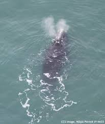 another right whale found dead news capecodtimes com hyannis ma