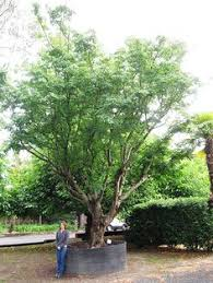 gtb river birch betula nigra grateful trees bees