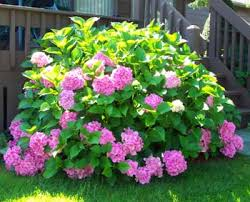 flower hydrangea how to grow and care for hydrangea flower bush the gardener s network