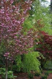 royal burgundy ornamental cherry monrovia royal burgundy