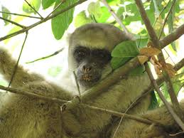 photos the monkeys of brazil u0027s atlantic forest